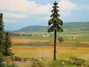 Hochstamm-Wetterfichte, 18,5 cm hoch